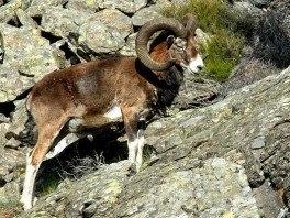 Mouflon-264x198