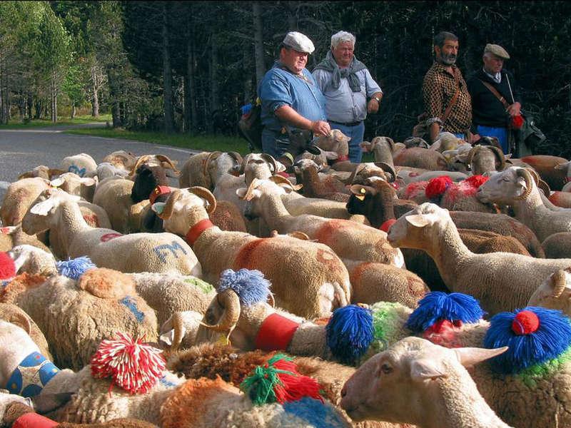 transhumance des moutons aigoual