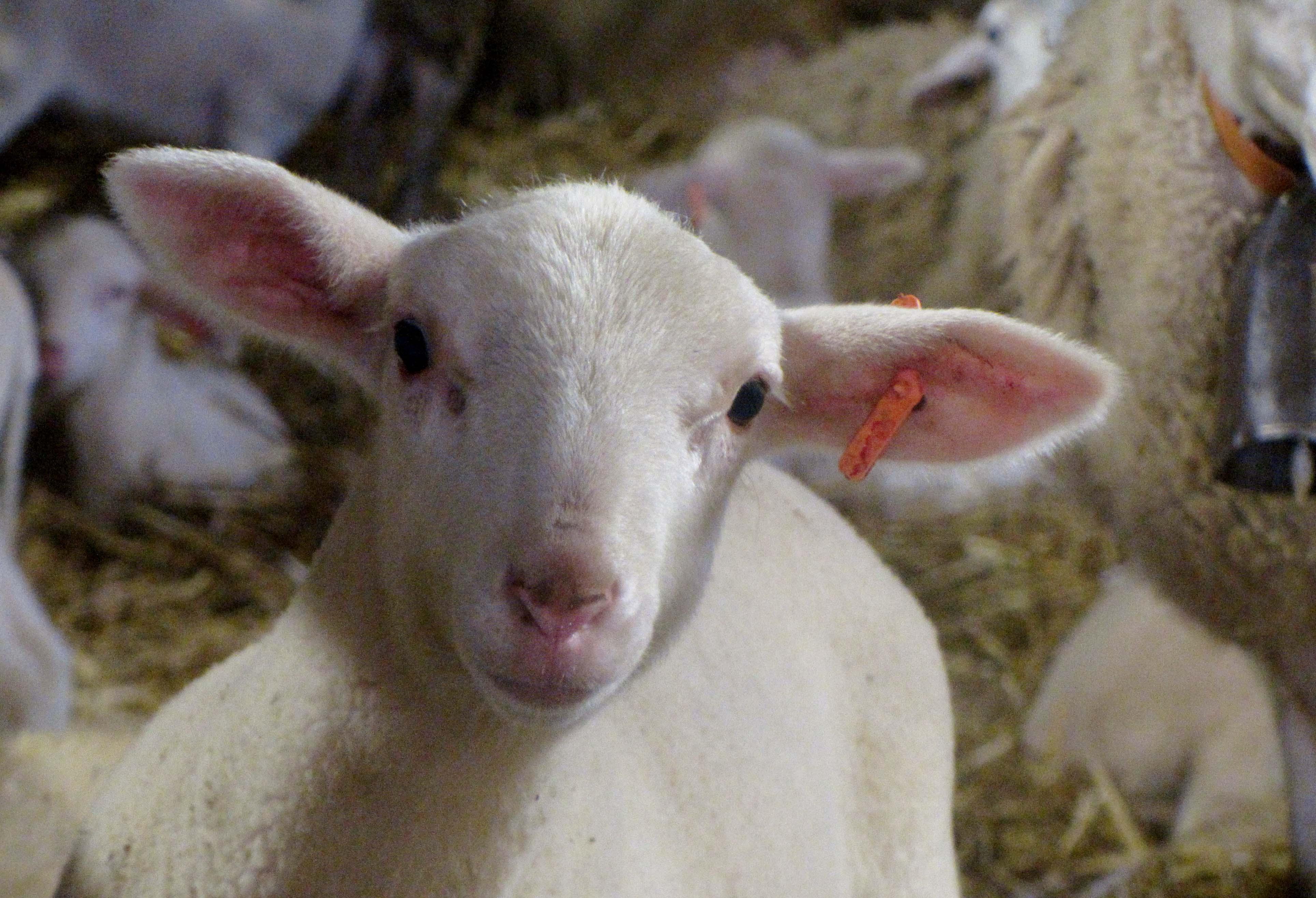 agneau cavalquinta